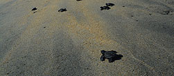 Sea turtles, Playa Ventura, Guerrero, México